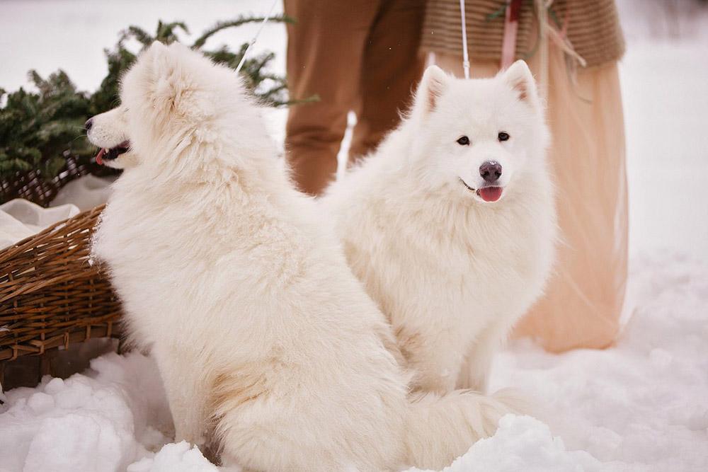 собаки на зимней свадьбе